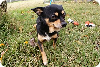Chihuahua Mix Dog for adoption in Yuba City, California - Edward