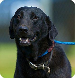 Labrador Retriever Mix Dog for adoption in Providence, Rhode Island - Jameson