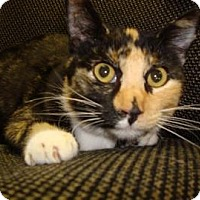 Domestic Shorthair Cat for adoption in Miami, Florida - Fuzzy