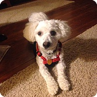 Adopt A Pet :: Rusty - Sinking Spring, PA