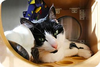 Domestic Shorthair Cat for adoption in Bellevue, Washington - Misa