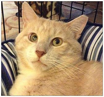 Domestic Shorthair Cat for adoption in New York, New York - Denton