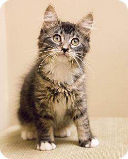 Maine Coon Kitten for adoption in Chicago, Illinois - Meowington