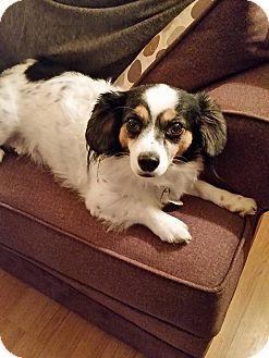 Papillon/Dachshund Mix Dog for adoption in Ottawa, Ontario - Paco