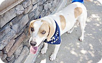 Labrador Retriever/Hound (Unknown Type) Mix Dog for adoption in Youngsville, North Carolina - Banjo ~Sponsored Fee~