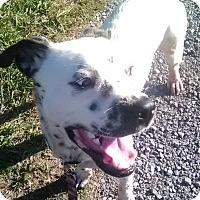 Dalmatian/Boxer Mix Dog for adoption in Wytheville, Virginia - Domino