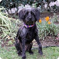 Adopt A Pet :: PANCAKE - Newport Beach, CA