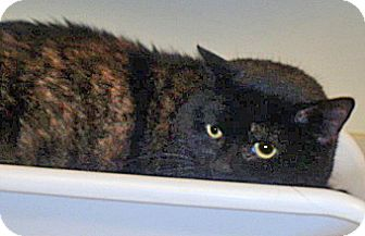 Domestic Shorthair Cat for adoption in Wildomar, California - Shadow