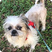 Shih Tzu Mix Dog for adoption in Savannah, Georgia - Link