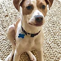 Adopt A Pet :: Shortcake - Houston, TX