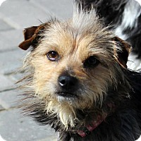 Adopt A Pet :: Snickers - Antioch, CA