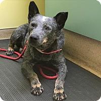 Adopt A Pet :: Kendra - North Wilkesboro, NC