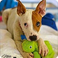 Adopt A Pet :: Hendrix - Gilbert, AZ
