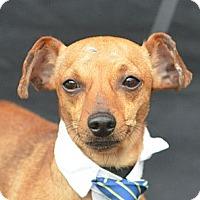 Adopt A Pet :: Freckels - Plano, TX
