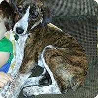 Adopt A Pet :: Hazel - Homewood, AL
