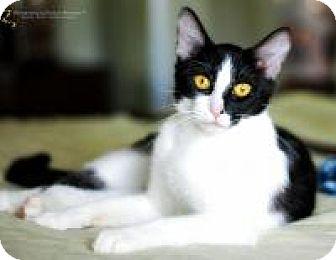 Domestic Shorthair Cat for adoption in San Carlos, California - Jane