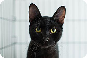 Domestic Shorthair Cat for adoption in Los Angeles, California - Leon