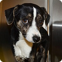 Beagle/Chihuahua Mix Dog for adoption in Tucson, Arizona - Shiloh