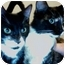 Photo 2 - Domestic Shorthair Kitten for adoption in Elverta, California - Hattie