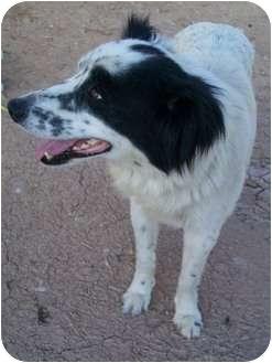 Border Collie Dog for adoption in Gilbert, Arizona - BUNNY