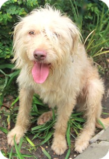 Labradoodle Mix Dog for adoption in Norwalk, Connecticut - Oscar - adoption pending