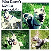 Adopt A Pet :: Sundae - Houston, TX