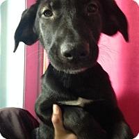 Adopt A Pet :: LICORICE - Pompton Lakes, NJ