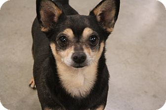 Pomeranian/Chihuahua Mix Dog for adoption in Rosamond, California - Gerbil