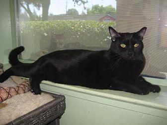 Domestic Shorthair Cat for adoption in Auburn, California - Willow