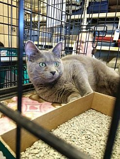 Domestic Shorthair Cat for adoption in Avon, Ohio - Bryce
