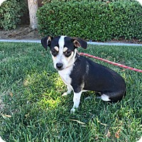 Jack Russell Terrier/Parson Russell Terrier Mix Dog for adoption in Bakersfield, California - Dixie