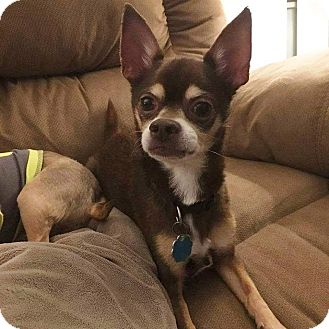 Chihuahua Mix Dog for adoption in Riverview, Florida - Cocoa