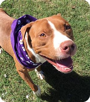Pit Bull Terrier Mix Dog for adoption in Greensboro, North Carolina - Mooch