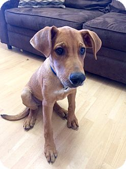 Hound (Unknown Type) Mix Puppy for adoption in Manchester, Connecticut - William in CT