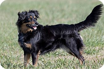 Australian Shepherd Mix Dog for adoption in Broken Arrow, Oklahoma - Jenny