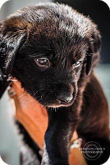 """Shepherd (Unknown Type)/Retriever (Unknown Type) Mix Puppy for adoption in Raleigh, North Carolina - Little Debbie (""""Debbie"""")"""