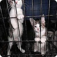 Adopt A Pet :: Jeff FeLV+ - Warren, MI
