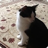 Adopt A Pet :: Figaro HL - Schertz, TX