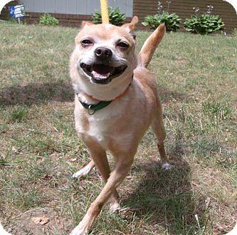 Chihuahua Mix Dog for adoption in Muskegon, Michigan - Lemon