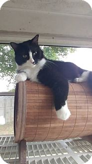 Domestic Longhair Cat for adoption in New Port Richey, Florida - Sylvester