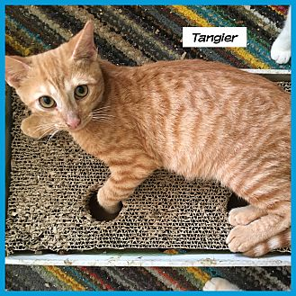 Domestic Shorthair Cat for adoption in Miami, Florida - Tangier