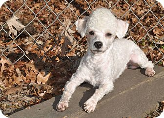 Poodle (Toy or Tea Cup) Dog for adoption in Elk River, Minnesota - PIPPIN
