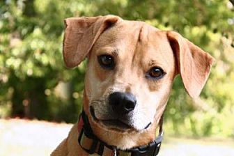Beagle/Terrier (Unknown Type, Small) Mix Dog for adoption in Kyle, Texas - LOLA