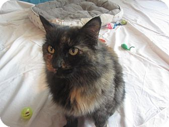 Domestic Mediumhair Cat for adoption in Ridgway, Colorado - Shine