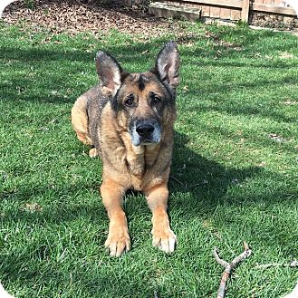 German Shepherd Dog Dog for adoption in Dayton, Ohio - Duncan
