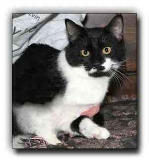 Domestic Shorthair Cat for adoption in Howell, Michigan - Drew