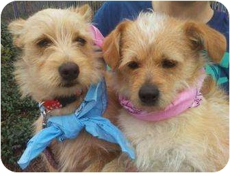 Terrier (Unknown Type, Small) Mix Dog for adoption in Houston, Texas - JILL