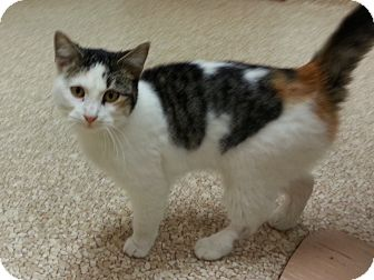 Calico Cat for adoption in Walnut, Iowa - Zoey
