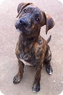 Boxer/Labrador Retriever Mix Puppy for adoption in Manchester, New Hampshire - Baxter
