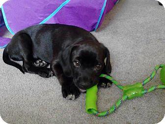 Labrador Retriever Mix Puppy for adoption in Alamosa, Colorado - Willie